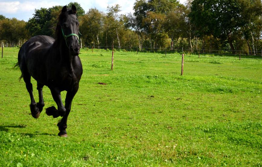 schwarzes-pferd-Lissy-galoppiert-auf-der-wiese-trauriges Trauriges - Tierschutzhof Wardenburg