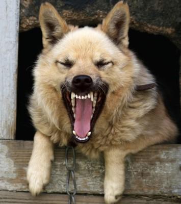 agressive-dog Tollwut - Gefahr - Keine Tiere aus Urlaubsländern einschmuggeln!