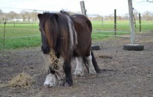 Ponystute-sissi-steht-auf-der-koppel-mit-heu-im-maul-300x191 Sissi (TP005/15)