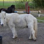 Shetty-Ponystute-Sissi-und-Mickey-150x150 Mikey (TP006/15)
