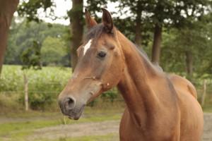 Shagya Araber Pferd Samira schaut nach vorn