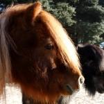 zwei-Pferde-vor-Baum-Sonne-150x150 Mathes