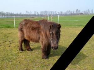 Pony-Fatima-auf-der-Koppel-300x225 Shetty Fatima