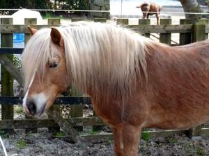 Haflinger-Pony-Flora-vor-Zaun-300x225 Haflinger-Pony Flora