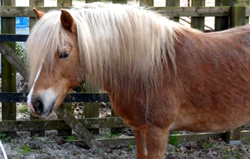 Haflinger-pony-flora-vor-zaun-beitragsbild Trauriges - Tierschutzhof Wardenburg