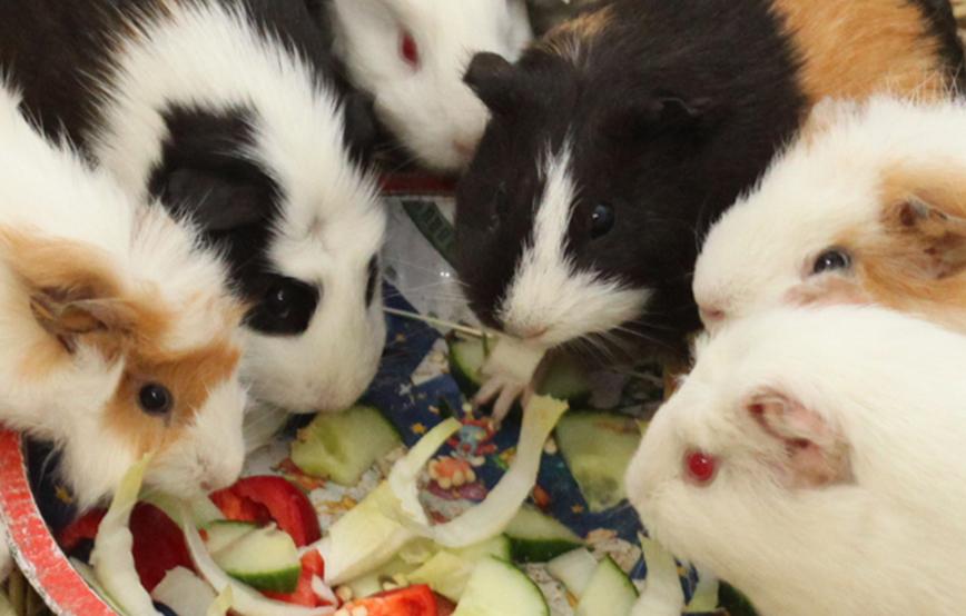 beitragsbild_meerschw Die richtige Kaninchen-Pflege