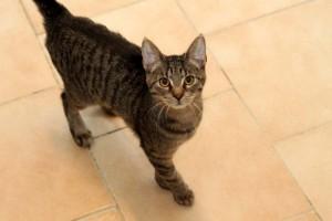 Europäische Kurzhaar Katze Maja auf Fliesenboden