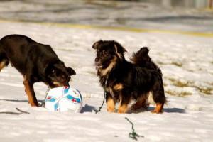 Hunde-Polen-rennen-Schnee-Tierschutzliga-Dorf-MG_1055-300x200 Unterstützen Sie das Tierschutzliga-Dorf