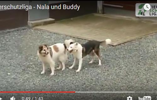 beitragsbild-Nala-Hund-Buddy-Hütehund-spielen-Schnee Aktuelles - Tierheim Unterheinsdorf