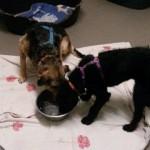 auslandshunde-ankunft-einzel-fressen-150x150 5 Auslandshunde im Tierschutzliga-Dorf