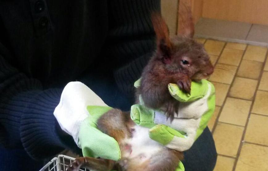beitragsbild eichhörnchen verletzt tierschutzliga dorf