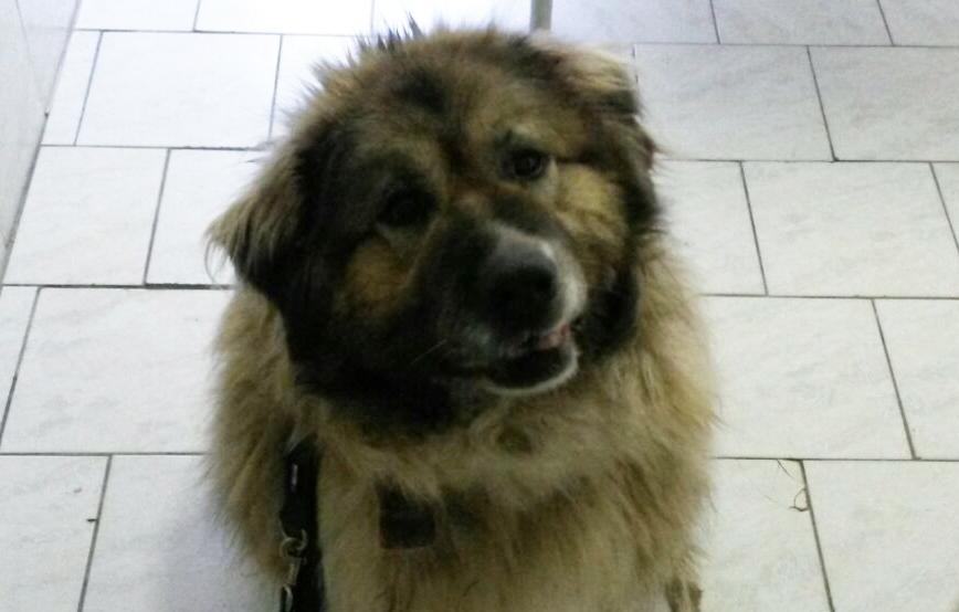 beitragsbild ursel hund kaukase haare tierschutzliga WhatsApp Image 2017-03-21 at 19.55.05