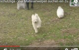 beitragsbild-malteser-hunde-welpen-wollaberg-320x202 Tierheim Tagebuch