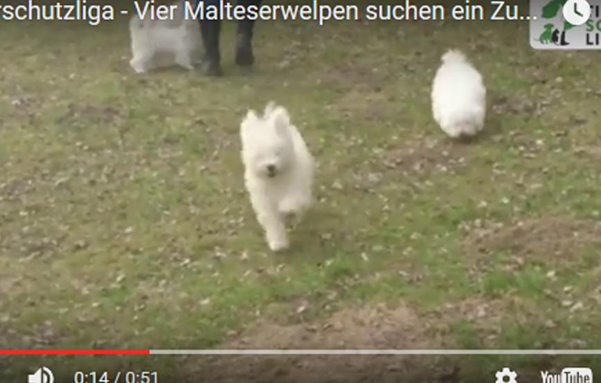 beitragsbild malteser hunde welpen wollaberg