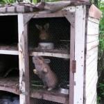 kaninchen-käfig-verwarlost-tierschutzliga-dorf-150x150 Kaninchen ohne Namen