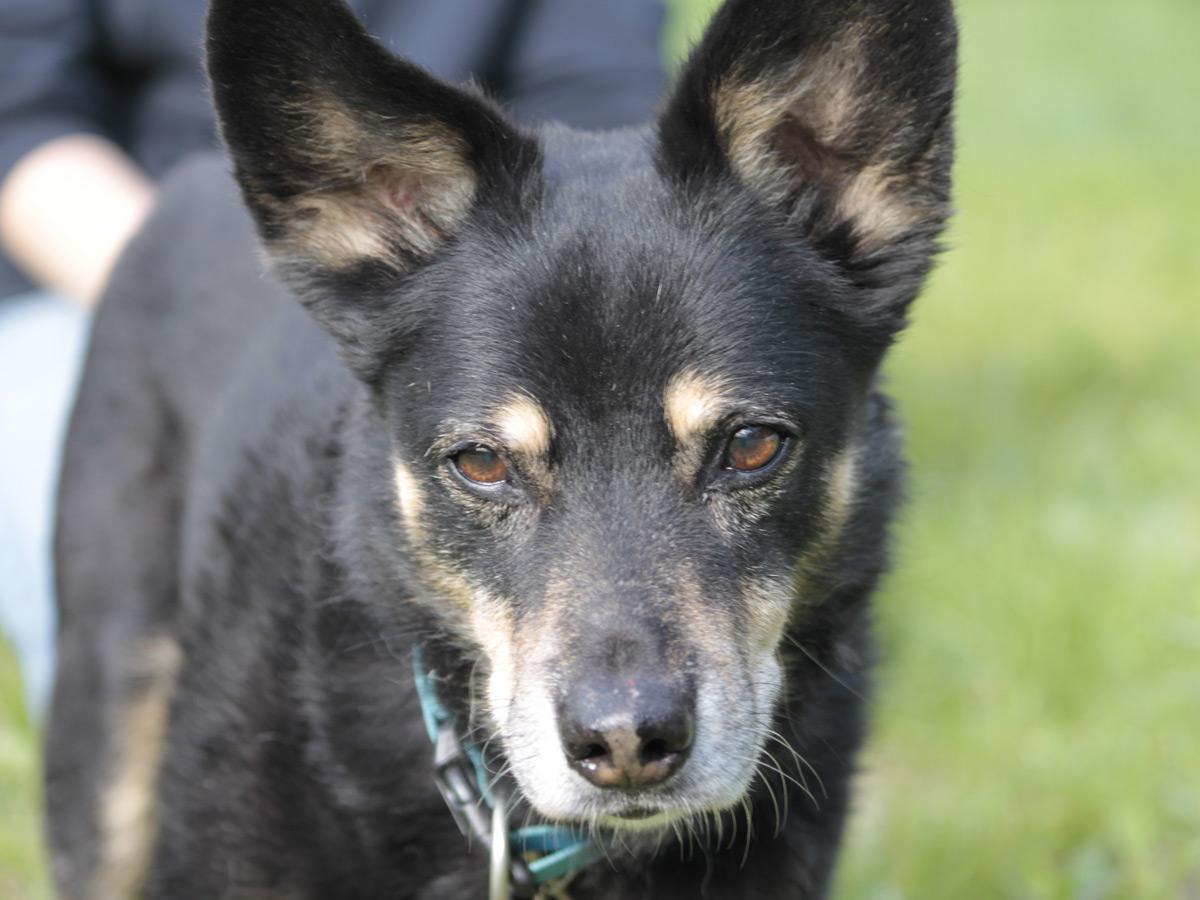 schwarzer-hund-auf-wiese-mit-stehohren Rest-des-Lebens-Patenschaft