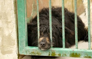 004249-Ruede-liegt-auf-dem-boden-im-zwinger-300x191 Sieben Hunde suchten dringend Aufnahmepaten - Jetzt können Sie ins Tierschutzliga-Dorf