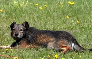 445448-Ruede-liegt-im-gras-300x191 Sieben Hunde suchten dringend Aufnahmepaten - Jetzt können Sie ins Tierschutzliga-Dorf