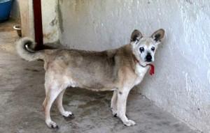 Opiruede-mit-rotem-halsband-300x191 Sieben Hunde suchten dringend Aufnahmepaten - Jetzt können Sie ins Tierschutzliga-Dorf