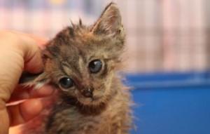 kranke-katze4-300x191 Katzenelend - Wir brauchen Hilfe