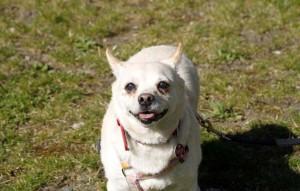 Hund-Purzel-an-der-leine-auf-der-wiese-300x191 Tierschutzliga-Dorf