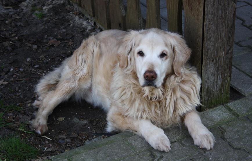 Hund-Samy-liegt-neben-dem-zaun-trauriges Trauriges - Tierschutzhof Wardenburg