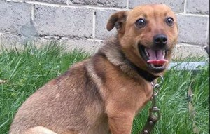 Hund-Pepsi-streckt-die-zunge-raus-300x191 Fünf Hunde haben neue Chance bekommen und dürfen reisen