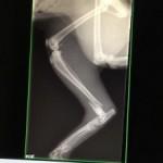 Röntgenbild-Beinbruch-Katze-150x150 Unfall - beide Hinterbeine kaputt und nun sucht er ein Heim