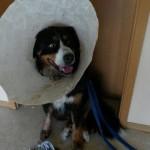 bernhard-daumenkralle-fuß-tumor-trichter-150x150 Bernhard ist schon wieder krank - Tumor am Fuß