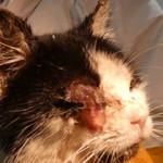 BEitrag-Messihaushalt-Katze-Not-OP-150x150 31 Hunde und 12 Katzen beschlagnahmt - erbärmliche Zustände
