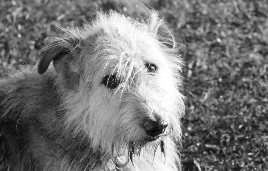 Hund-max-trauriges Max - gekämpft, gehofft und doch verloren