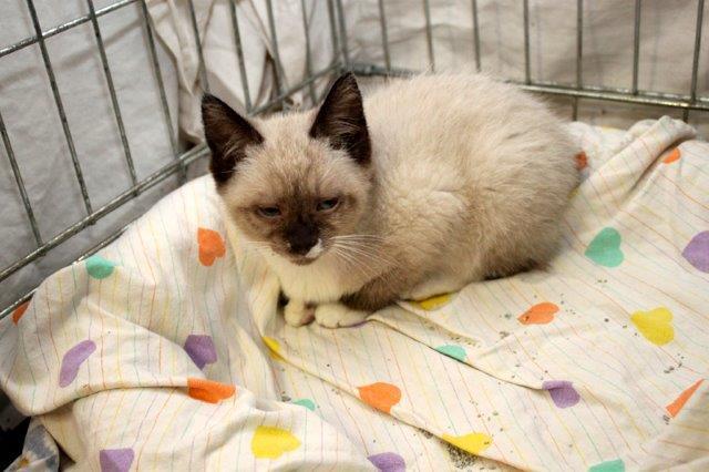 Junge-4-Pearly-2 Messihaushalt – vierzehn kranke Katzen gerettet – Tierschutz-Alltag