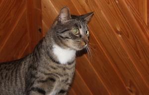 Katze-Hans-glücklich-vermittelt-300x191 Hans, der misshandelte