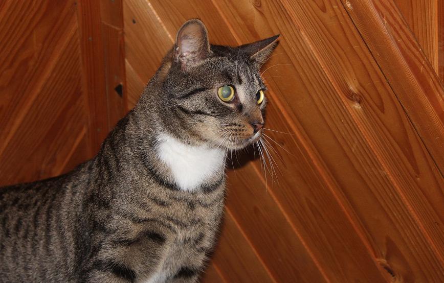 Katze-Hans-glücklich-vermittelt Glücklich vermittelt - Katzenstation München