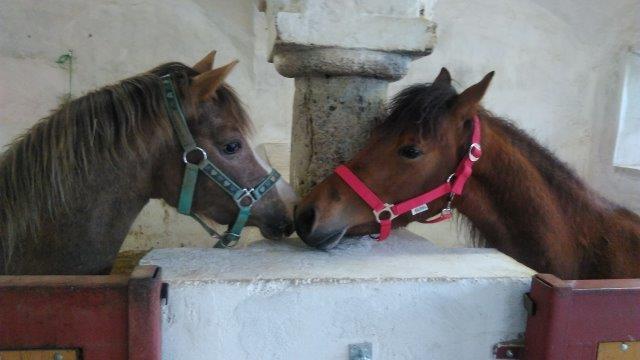 Kennenlernen-seiner-Partnerin-–-Ketu-und-Milkyway-am-Tag-des-Einzugs Homöopathie für Pferde - Seminare in Wardenburg