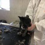 WhatsApp-Image-2017-12-01-at-13.38.15-150x150 31 Hunde und 12 Katzen beschlagnahmt - erbärmliche Zustände