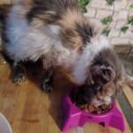 beitragsbild-luisa-persermix-verwahrlost-frisst-150x150 Hilfe für Louisa - Persermix Katze in Not