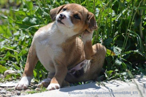 Flohbefall Hundeflöhe, Katzenflöhe – was kann ich tun?