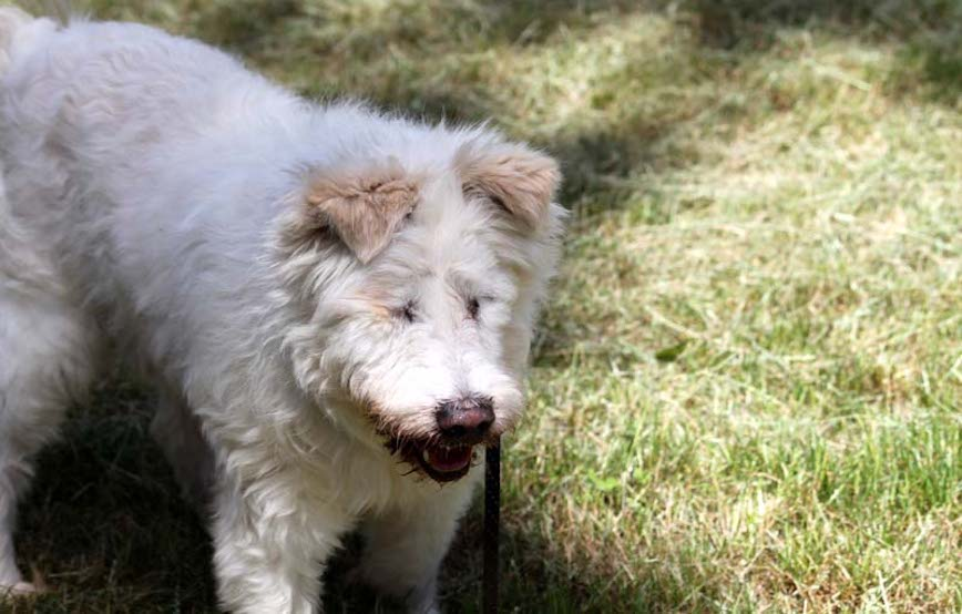 Hund-Lumpi-trauriges Trauriges - wenn ein Tier die Regenbogenbrücke überquert