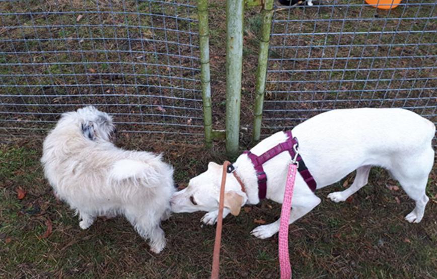 beitragsbild-angsthund-resozialisierung-piper-tagebuch-tag5 Hundegeschichte Tag 5: Kontakt beschränkt sich auf andere Hunde