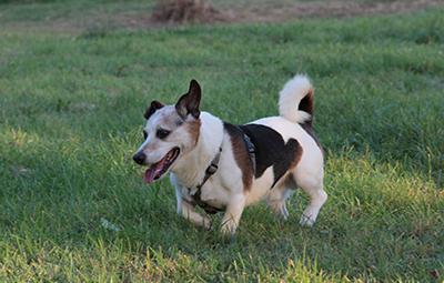 lucky-corgi-jack-russel-terrier-mix-bückeburg-beitragsbild Was ist eine Tier-Patenschaft