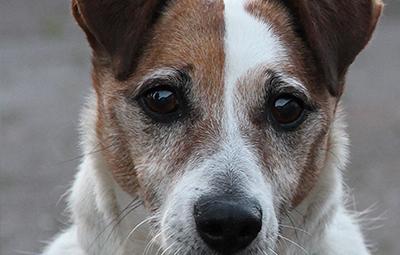 oskjar-terrier-mix-bückeburg-beitragsbild Rest-des-Lebens-Patenschaft