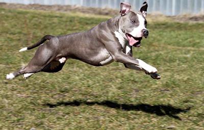 Joker Kampfhund!?