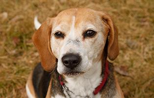 hund-beagle-ronja-herzprobleme Drei Notfellchen brauchen Ihre Hilfe