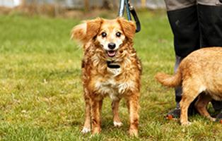 hund-toffee-larynxkollaps-operation-beitragsbild Notfellchen Fonds