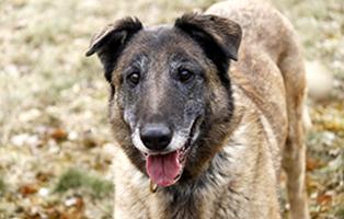 Canny6-Malinois-beitragsbild Unterstützen Sie das Tierschutzliga-Dorf