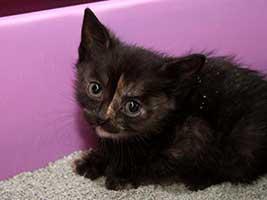 Katzenbaby-4.11-weiblich-geb-01.6.18-Tierschutzliga-Dorf Start-ins-Leben-Patenschaft - Übersicht aller Tierbabys