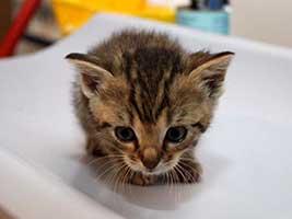 Katzenbaby-4.12-weiblich-geb-15.6.18-Tierschutzliga-Dorf Start-ins-Leben-Patenschaft - Übersicht aller Tierbabys