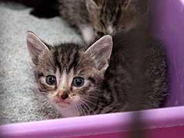 Katzenbaby-4.3-maennlich-geb-1.6.18-Tierschutzliga-Dorf Start-ins-Leben-Patenschaft - Übersicht aller Tierbabys