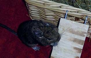 degu-damen-thelma-louise-gluecklich-vermittelt Tierische Geschichten - Lustiges und spannendes